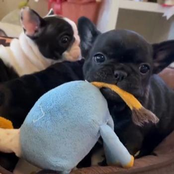 子犬販売で新しいブリンドル・ブレーズブリンドル姉妹の写真を更新!