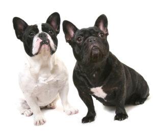 フレンチブルドッグの子犬探しのコツ③|子犬見学の際の親犬見学について
