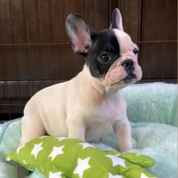 子犬販売でパイド男の子の写真を更新!
