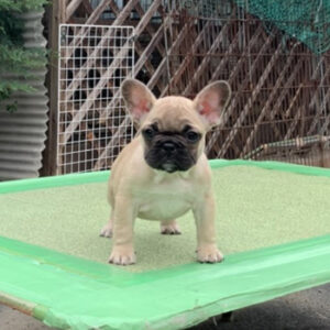 子犬販売で新しいフォーン女の子の写真を紹介!