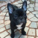 若犬販売で新しいブリンドル男の子の写真を紹介!