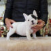子犬販売で新しいフォーンパイド・片パンチパイド・ブリンドルを紹介!