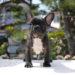 子犬販売で新しいブリンドル男の子の写真を紹介!